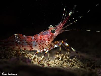 Pandalus hypsinotus (coonstripe shrimp)