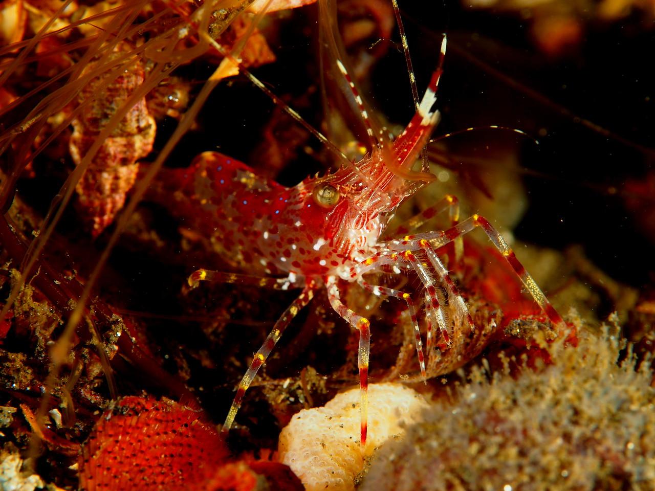 Coon Stripe Shrimp