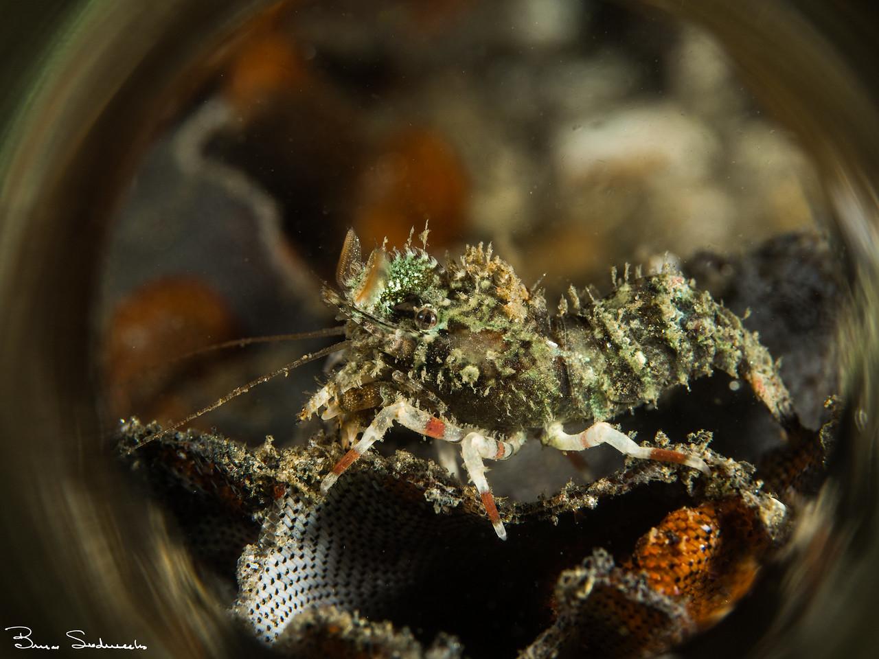 Spirontocaris prionota (deep blade shrimp)