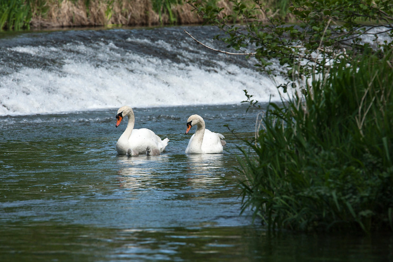 Mute Swans near the weir on the River Teme at Ludlow in Shropshire