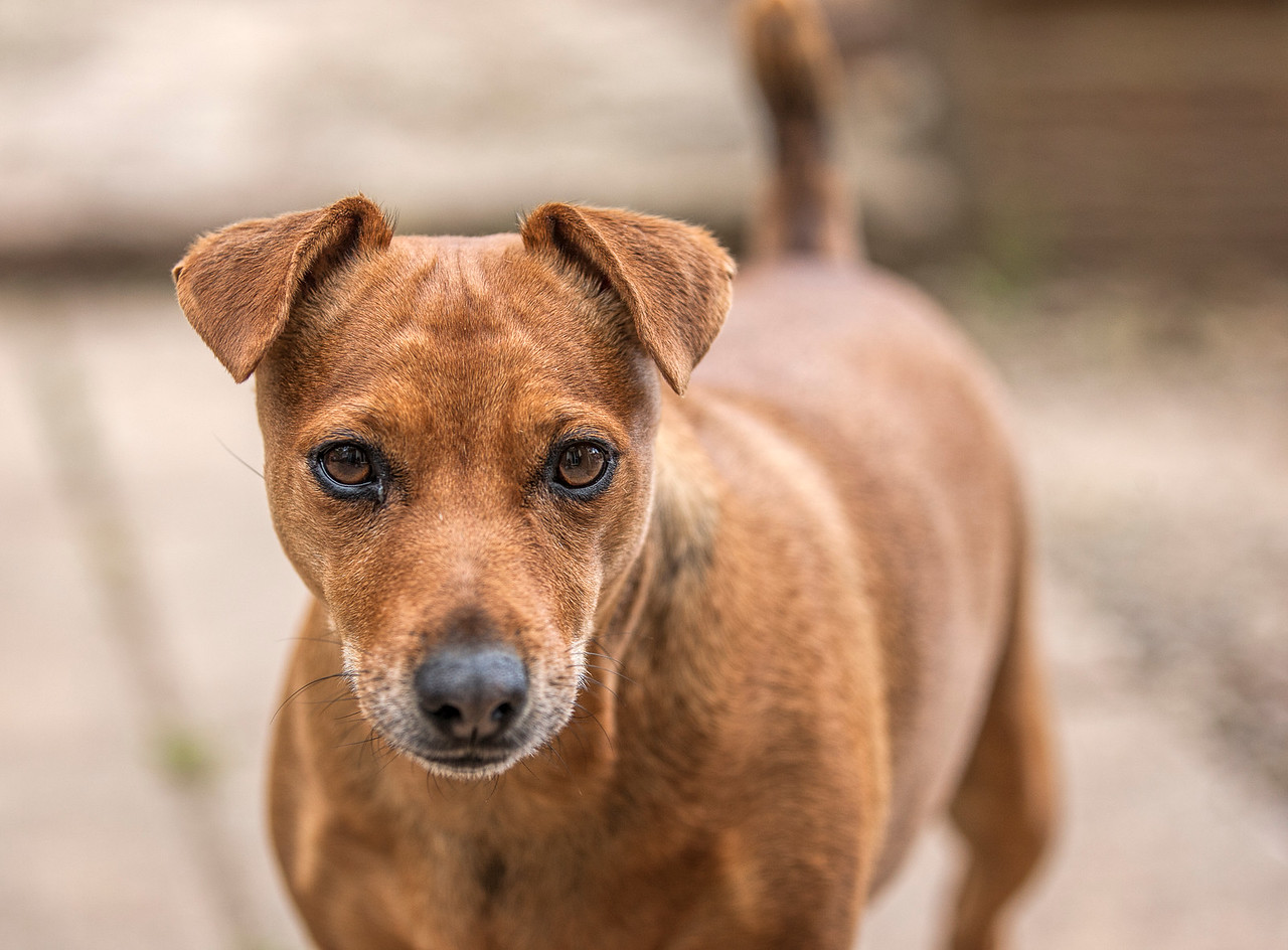 Brown Jack Russell Dog