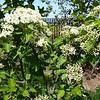 Viburnum prunifolium, Black haw viburnum