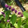 Beautyberry. ( Callicarpa americana)