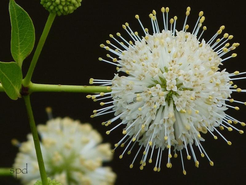 "Cephalanthus occidentalis, Buttonbush<br /> from <a href=""http://beautifulnativeplants.blogspot.com/2016/07/bountiful-buttonbush.html"">http://beautifulnativeplants.blogspot.com/2016/07/bountiful-buttonbush.html</a> ?"