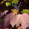 Mapleleaf viburnum, (Viburnum acerifolium)