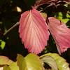 Southern Arrowwood, (Viburnum dentatum)