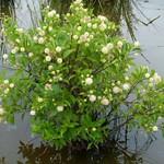 Cephalanthus occidentalis, Buttonbush