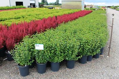 Ribes alpinum #5