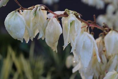 Yucca fil  'Golden Sword' (variegated) #5 (3)
