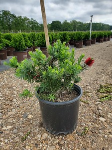 3 gal Dwarf Bottlebrush
