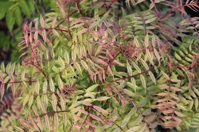 Sorbaria sorbiflora 'Sem'