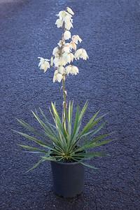 Yucca fil  'Golden Sword' (variegated) #5 (2)
