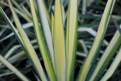Yucca fil  'Golden Sword' (variegated) #5