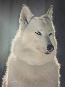 Ethereal Ice, beautiful wolfdog mate of Kody