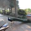 Peacock, Villa San Marco, Agrigento