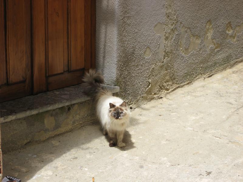 Gangi: a pet cat