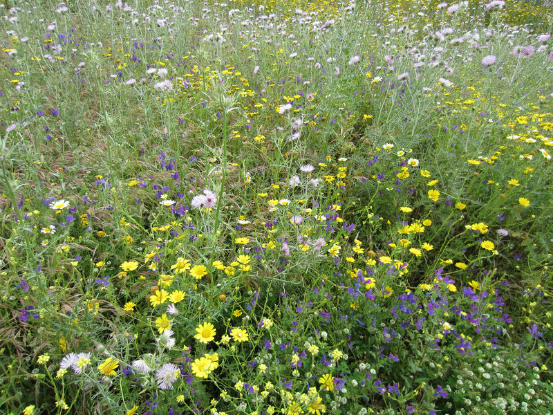 Wildflowers, Segesta