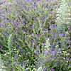 Wildflowers, Monte Barbaro