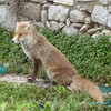 Fox, Monte Barbaro