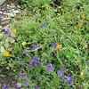 Segesta wildflowers