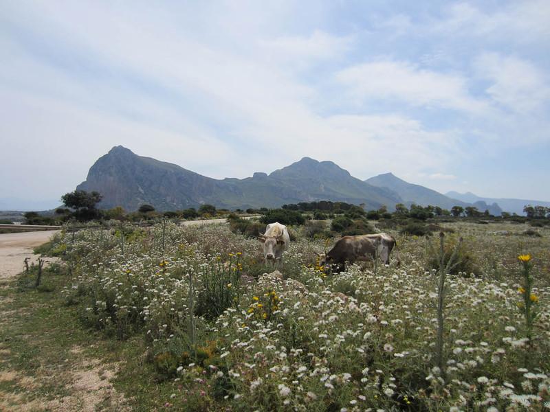 Cows grazing, San Vito lo Capo