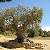 An old tree by the temple of Hera