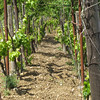 Castellana Sicula, vineyard - rocky soil