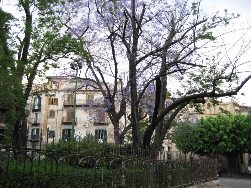 Kalsa Quarter: a tree bursting with purple flowers
