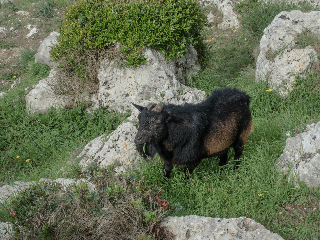Goat on Villa Jovis path, Capri