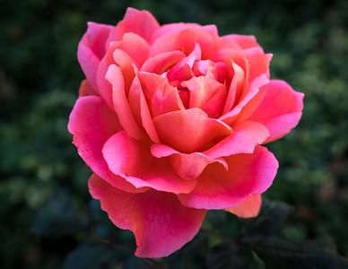 Hello Rose