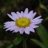 Wandering daisy