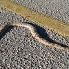 Rattlesnake road kill.  Was not my doing.