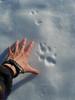 Big coyote print