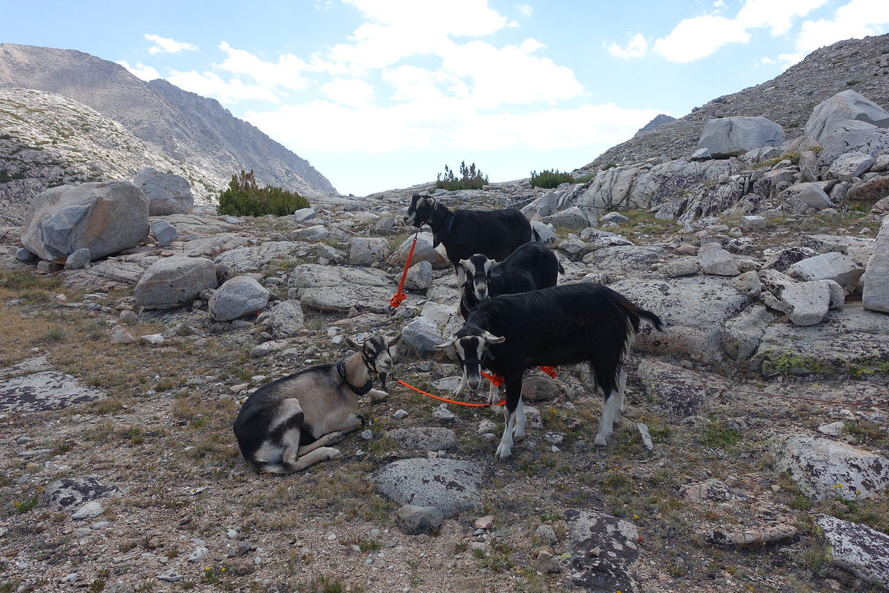 "Meanwhile... back at Piute Pass.... these goats are being ""trained"" to be pack goats.  They are alpine and la mancha.  They are 15 months old and huge!!!  Was fun talking with their owner and learning about how they are being trained."