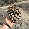 Big pine cone from a gray pine (aka digger pine)