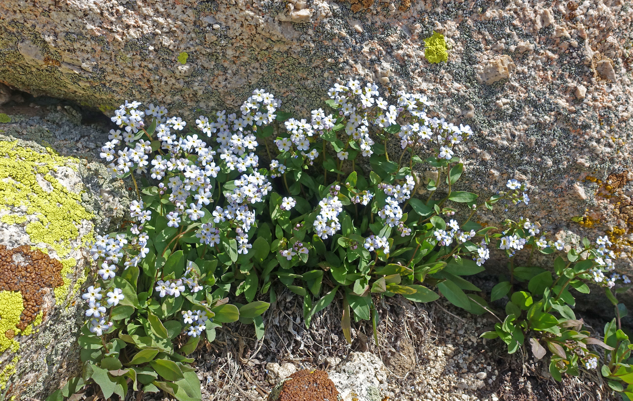 Harlan says: Cryptanth (forget-me-not)... and so it is.