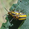 Three-lined Potato Beetles
