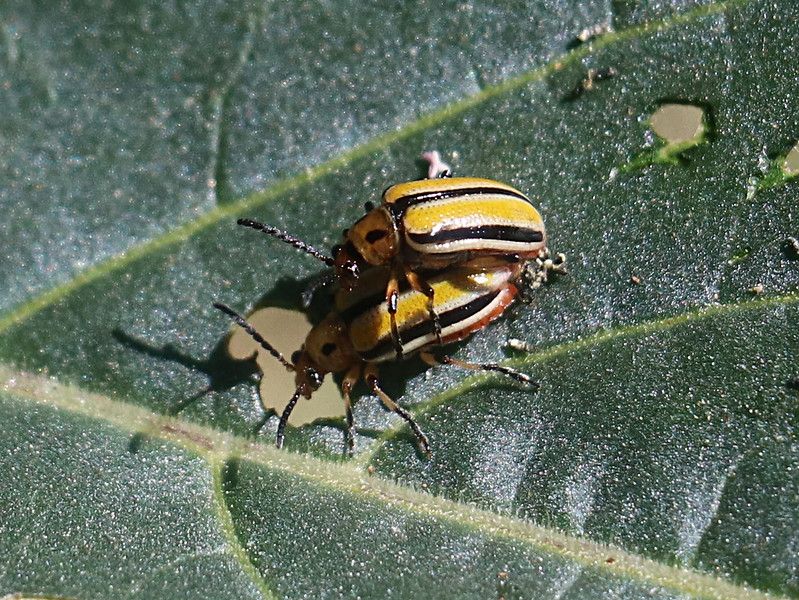 Three-lined Potato Beetles