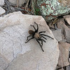 We saw 8 or 10 tarantulas on this trip.