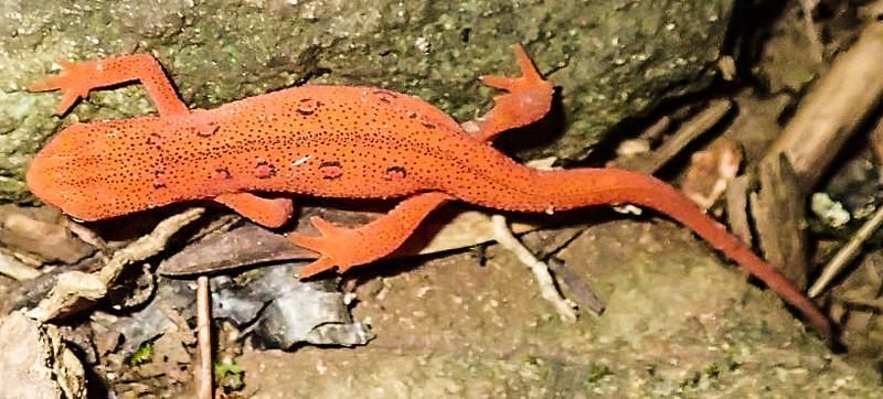 Orange Salamander on Profile Trail
