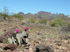 Easter search for Whipples' elusive saguaro