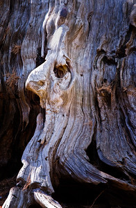 Richards___A Face in the Redwood