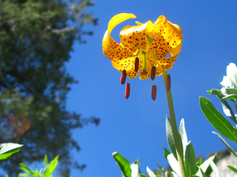 Leopard Lilly