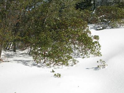 manzanite in the snow