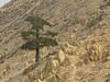 tree just below the summit of Chuckwalla