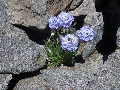 Sky Pilot - one of the sweetest Sierra wildflowers - usually only found above 12k feet
