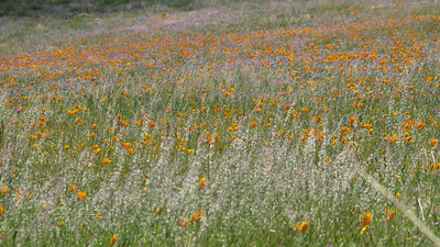 the poppies on the hillside