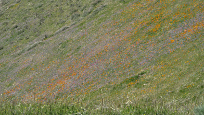 poppies on the hillside