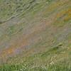 poppies on the hillside