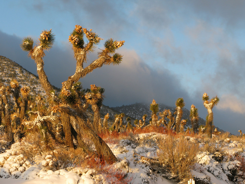 fresh snow still on the Joshua Trees